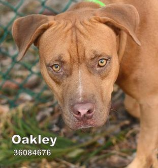 American Pit Bull Terrier Mix Dog for adoption in Largo, Florida - Oakley