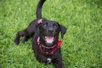 Labrador Retriever Mix Dog for adoption in Von Ormy, Texas - Layla