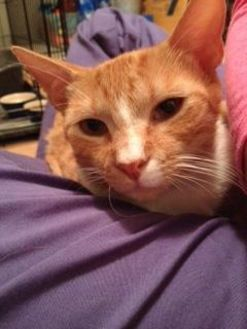 Domestic Shorthair/Domestic Shorthair Mix Cat for adoption in Hopkins, South Carolina - Sly
