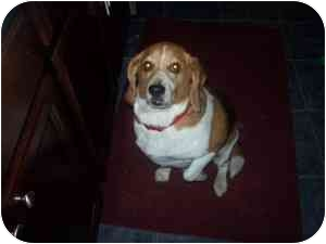 Beagle Dog for adoption in Ventnor City, New Jersey - MAX