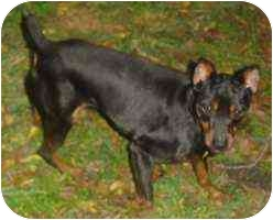 Miniature Pinscher Dog for adoption in Florissant, Missouri - Decker
