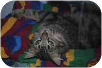Domestic Mediumhair Cat for adoption in Marietta, Georgia - Mr. Furly