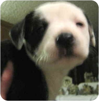 Labrador Retriever Mix Puppy for adoption in Hillsboro, Ohio - Joy's puppy Belinda