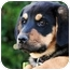 Photo 1 - Rottweiler Mix Puppy for adoption in West Los Angeles, California - Brass