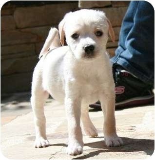 Terrier (Unknown Type, Small)/Dachshund Mix Puppy for adoption in La Habra Heights, California - Kennedy