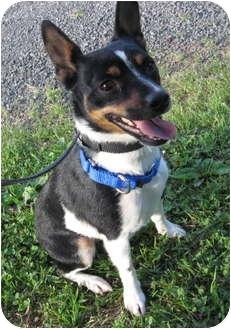 Rat Terrier Mix Dog for adoption in Columbia, Illinois - Josie