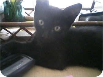 Domestic Shorthair Kitten for adoption in Fallon, Nevada - Spot