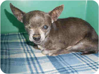 Chihuahua Mix Dog for adoption in Yuba City, California - Diesel