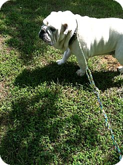 English Bulldog Dog for adoption in Winder, Georgia - Buster