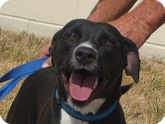 Labrador Retriever/Border Collie Mix Dog for adoption in Windsor, Missouri - Taylor