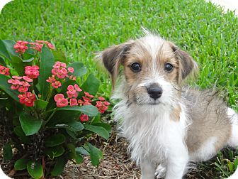 Jack Russell Terrier/Terrier (Unknown Type, Medium) Mix Puppy for adoption in Palm Harbor, Florida - Tobie