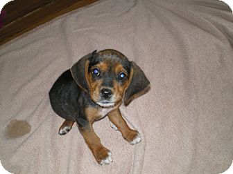 Beagle Puppy for adoption in Apex, North Carolina - Polly