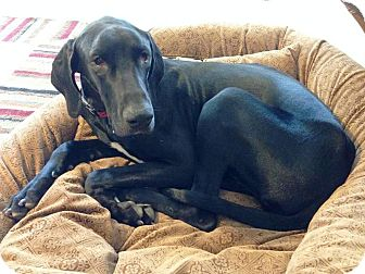 Great Dane Dog for adoption in Springfield, Illinois - Violet