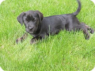 Neapolitan Mastiff/Labrador Retriever Mix Puppy for adoption in Hamilton, Ontario - Puppies!!