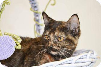 Domestic Shorthair Cat for adoption in Lincoln, Nebraska - SASSY - OPEN YOUR HEART TO HER
