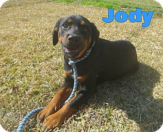 Rottweiler/Terrier (Unknown Type, Medium) Mix Dog for adoption in SOUTHINGTON, Connecticut - Jody