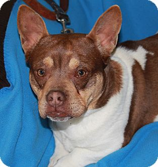 English Bulldog/Beagle Mix Dog for adoption in Washington, D.C. - Newt
