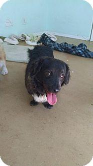 Tibetan Spaniel/Dachshund Mix Dog for adoption in Simi Valley, California - Dean
