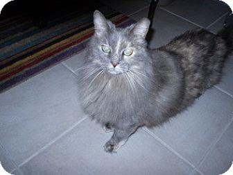 Domestic Longhair Cat for adoption in Gilbert, Arizona - Maggie