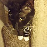 Domestic Mediumhair Cat for adoption in San Dimas, California - Midori