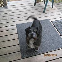 Schnauzer (Standard)/Terrier (Unknown Type, Medium) Mix Dog for adoption in Wapwallopen, Pennsylvania - Buddy George - 13 1/2