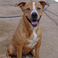 Boxer/Beagle Mix Dog for adoption in Chandler, Arizona - FRANKIE