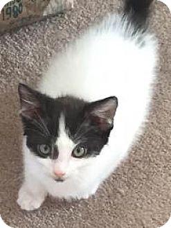 Domestic Shorthair Kitten for adoption in Clarkston, Michigan - Nike