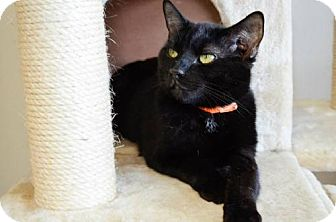 Bombay Cat for adoption in Columbus, Ohio - Gallagher