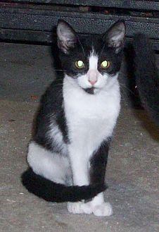 Domestic Shorthair Kitten for adoption in Morriston, Florida - PATSY