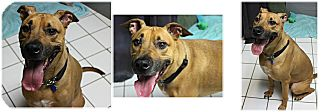 Black Mouth Cur Dog for adoption in Forked River, New Jersey - Dallas