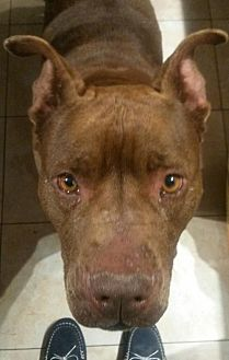 Pit Bull Terrier Mix Dog for adoption in Johnson City, Tennessee - Leona