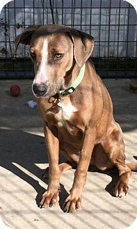 Labrador Retriever/Hound (Unknown Type) Mix Dog for adoption in Hanna City, Illinois - Mardi-adoption pending