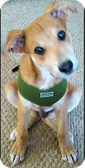 Labrador Retriever/Border Collie Mix Puppy for adoption in Boulder, Colorado - Alex-ADOPTION PENDING