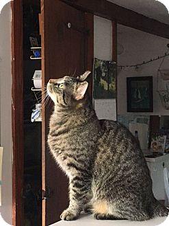 Domestic Shorthair Cat for adoption in Acushnet, Massachusetts - Brixton