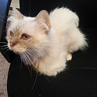 Adopt A Pet :: Divinity - Washougal, WA