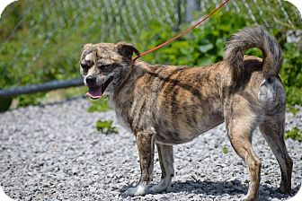 Chihuahua/Feist Mix Dog for adoption in Rockwood, Tennessee - MATTIE