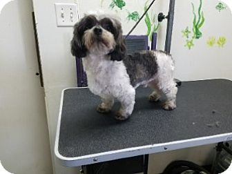 Shih Tzu Mix Dog for adoption in Gustine, California - BUSCUIT