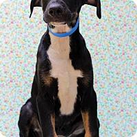 Adopt A Pet :: Ameer - Waldorf, MD