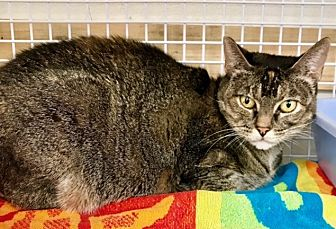 Domestic Shorthair Cat for adoption in Sherman Oaks, California - Gypsy