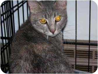 Domestic Shorthair Cat for adoption in Syracuse, New York - Ester