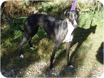 Greyhound Dog for adoption in Albuquerque, New Mexico - Orchid