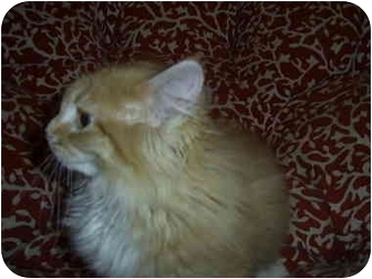 Domestic Longhair Cat for adoption in Sheboygan, Wisconsin - Spice