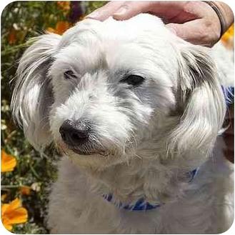 Maltese Mix Dog for adoption in Berkeley, California - Harris
