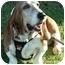 Photo 1 - Basset Hound Dog for adoption in Phoenix, Arizona - Oliver