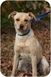 Labrador Retriever Dog for adoption in Montgomery City, Missouri - Bambi