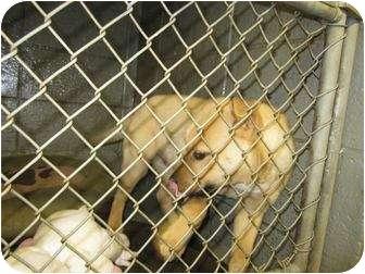 Labrador Retriever Mix Puppy for adoption in Henderson, North Carolina - Derwood