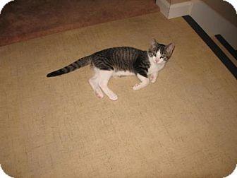 Domestic Shorthair Cat for adoption in Grand Rapids, Michigan - Magic Mike