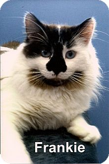 Domestic Mediumhair Cat for adoption in Medway, Massachusetts - Frankie