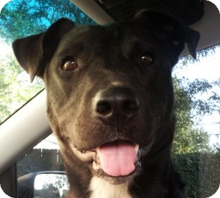 Labrador Retriever Mix Dog for adoption in Georgetown, Kentucky - Roscoe