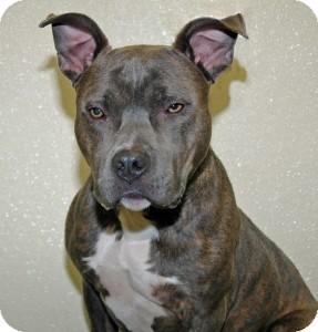 Pit Bull Terrier Dog for adoption in Port Washington, New York - Burl
